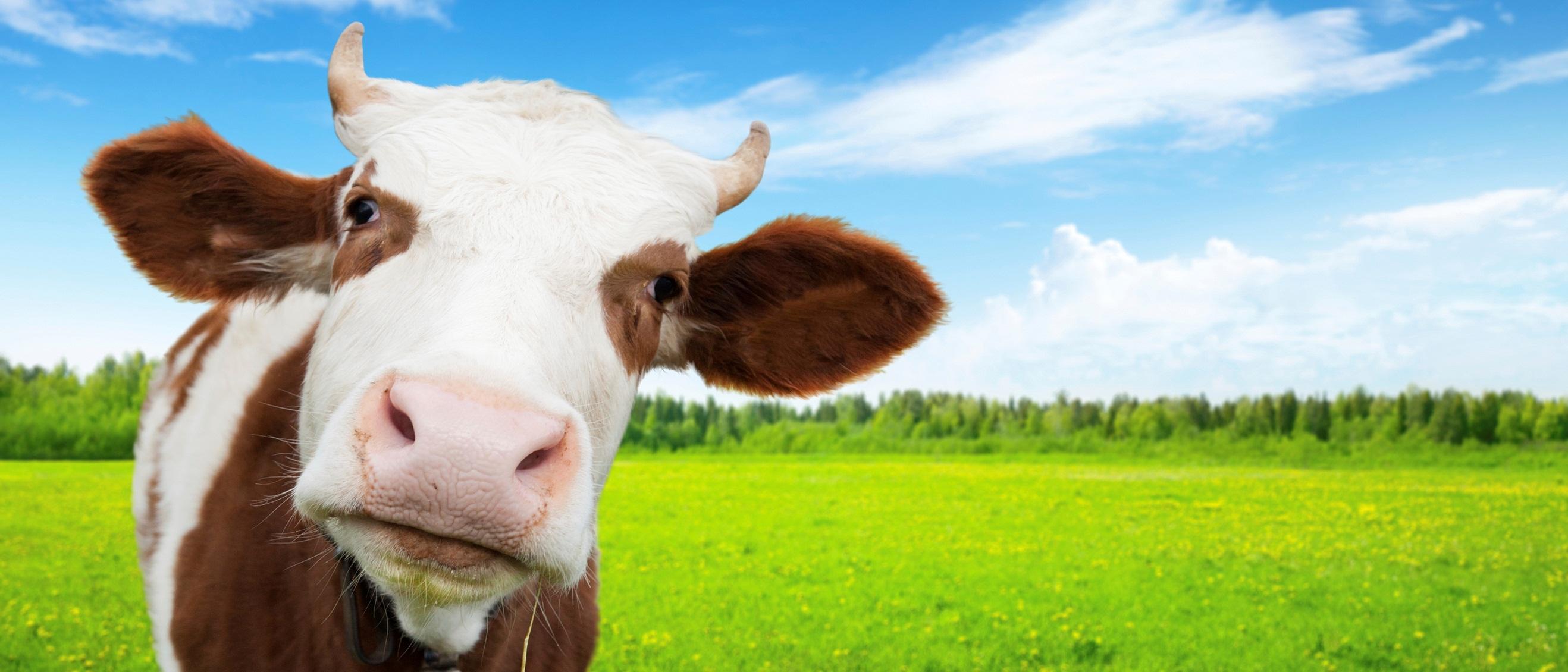 Tratamentul papilomelor pe uger, Negi pe ugerul unei vaci ca un tratament